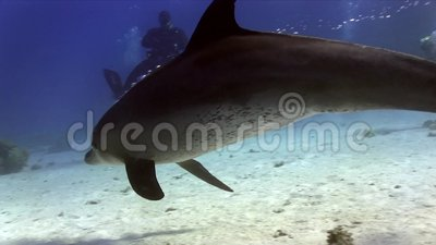 Bottlenose dolphinTursiops το aduncus indo-Ειρηνικός παίζει με τους δύτες και το συριγμό στη Ερυθρά Θάλασσα κοντά σε Hurgada φιλμ μικρού μήκους