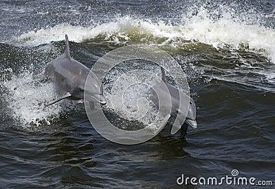 Δελφίνια Bottlenose (truncatus Tarsiops)
