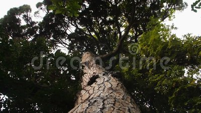 Bottom view of the pine crown against the sky.  stock footage