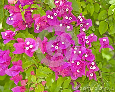Bougainvillea flowers on a bush