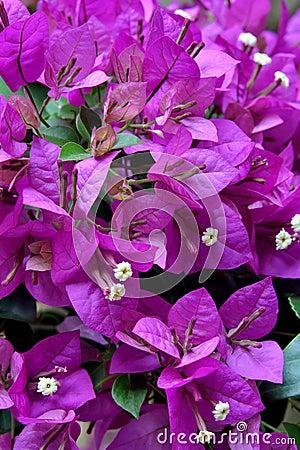 Bougainvillea flowers in purple