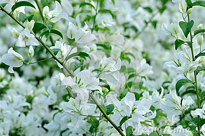 Bougainvillea flowers in white