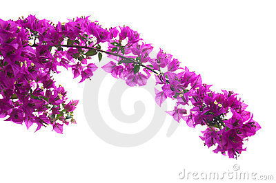 Bougainvillea rosado