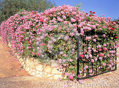Boundary wall and gate covered in Ivy Geranium flowers at entrance to ...