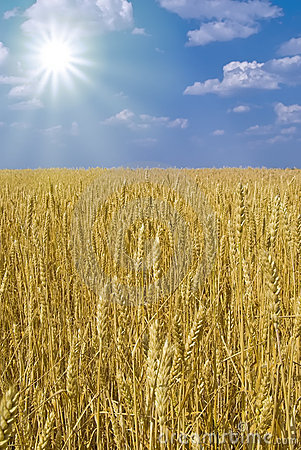 Boundless field of wheat