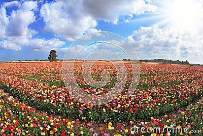 Boundless kibbutz field sown with flowers