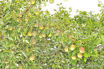 Bountiful Harvest of Pears Growing on Pear Tree