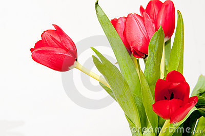 Bouqet of red tulips
