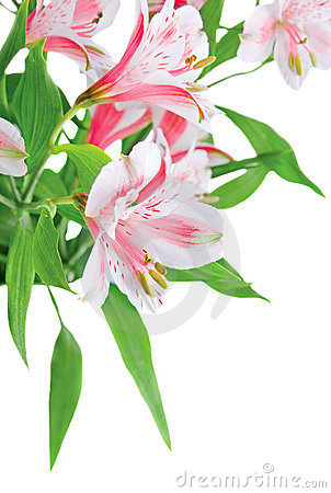 Bouquet of Alstroemeria closeup