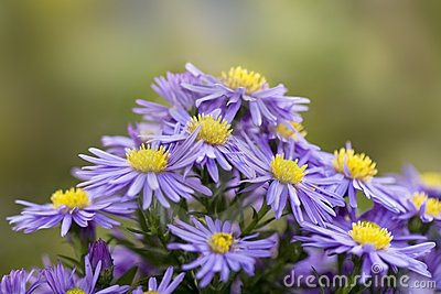 Bouquet of asters.