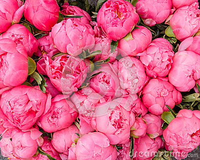Bouquet of blooming peonies