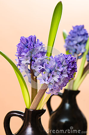 Blossoming to hyacinths in a vase