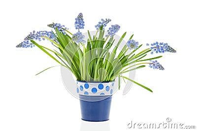 Bouquet blue grape Hyacinths