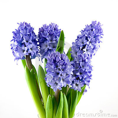 Bouquet Blue Hyacinth