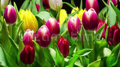 Bouquet of Bright Tulips Blooms stock video footage