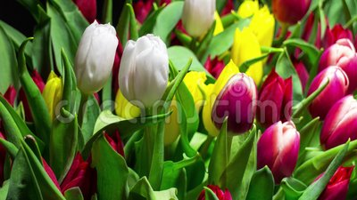 Bouquet of Bright Tulips Blooms stock video