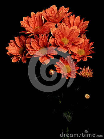 A bouquet of Calendula officinalis pink