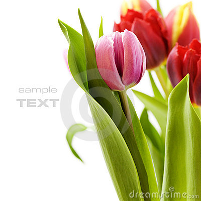 Free Bouquet Of The Fresh Tulips Royalty Free Stock Photography - 10286917