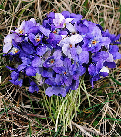 Free Bouquet Of Violets Royalty Free Stock Image - 21762066