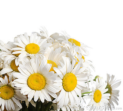Free Bouquet Of Wild Camomiles Stock Images - 20277984