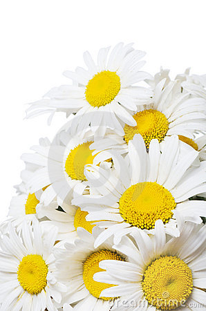 Free Bouquet Of Wild Camomiles Royalty Free Stock Photos - 21534288