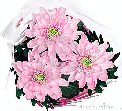 Bouquet of pink chrysanthemums on white background