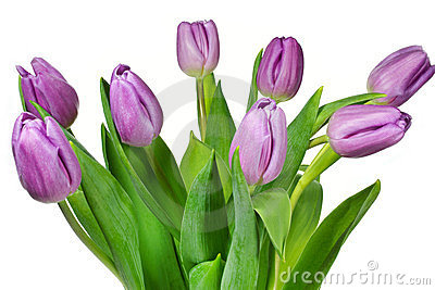 Bouquet of pink coloured tulips