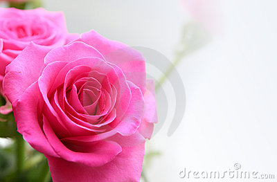 Bouquet of rosa roses