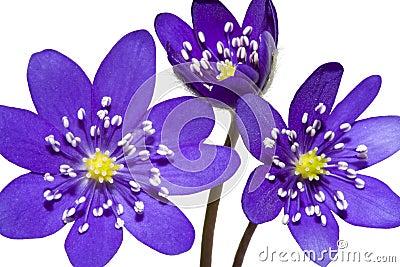 Bouquet of spring mountain purple flower