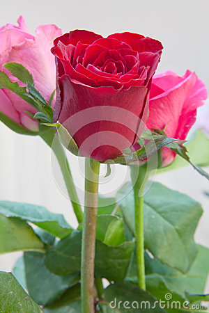 Bouquet of three rosses on white