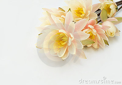 Bouquet of water lilies on a white background