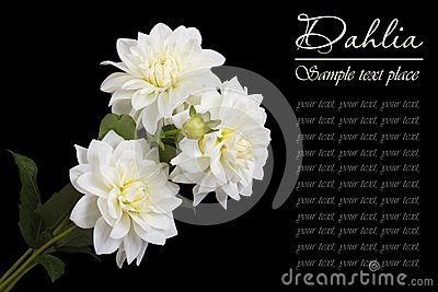 A bouquet of white roses on a black background
