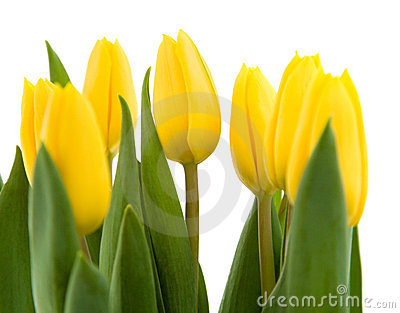 Bouquet of yellow tulips
