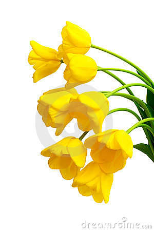 Bouquet of yellow tulips on a white background