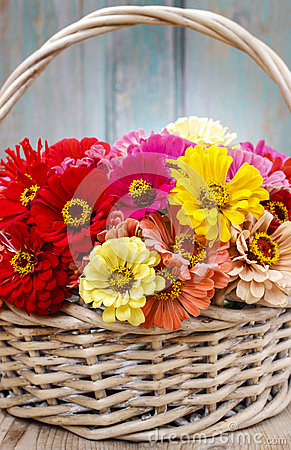 Bouquet of zinnia flowers in wicker basket.