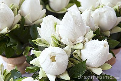 Bouquets of White Lotus