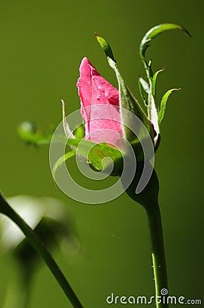 Bourgeon de Rose