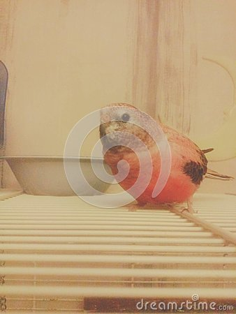 Free Bourke S Parrot Royalty Free Stock Photo - 76043445