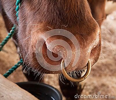 Bovine Nose Ring