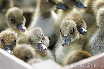 Box of Baby Ducks