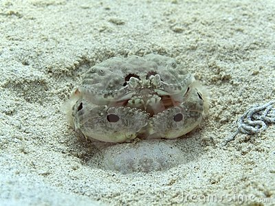 Box Crab - Calappa philargius