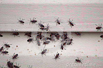 Box Elder Bug Infestation on House