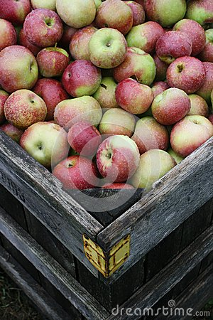Box of Fresh Apples After Rain