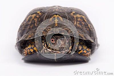 Box turtle on white background