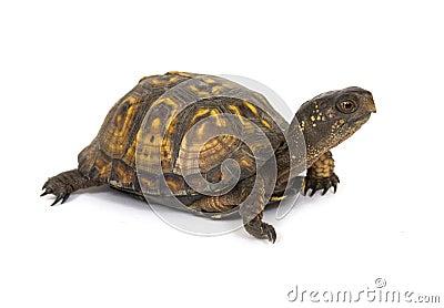box turtle on a white background stock image image 4781171