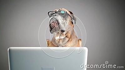 Boxarehund som arbetar på bärbara datorn och av tar glasögon stock video