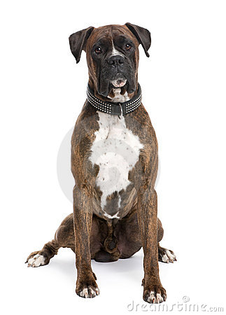 Boxer (4 years old)