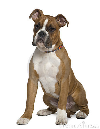Boxer, 5 months old, sitting in front of white