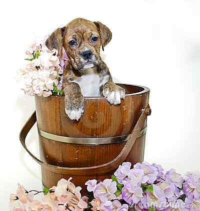 Boxer in Bucket with Flowers