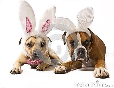 Boxer Bunnies
